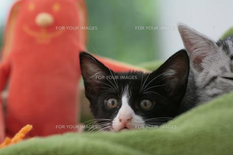 子猫とぬいぐるみの素材 [FYI01123112]