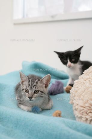 水色のブランケットの上に座る子猫2匹の素材 [FYI01123124]