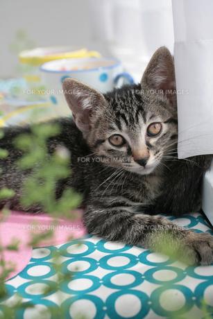 グリーンの奥に座る子猫の素材 [FYI01123129]