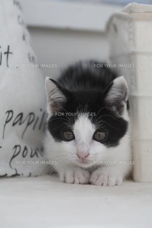 正面を見つめる子猫の素材 [FYI01123179]