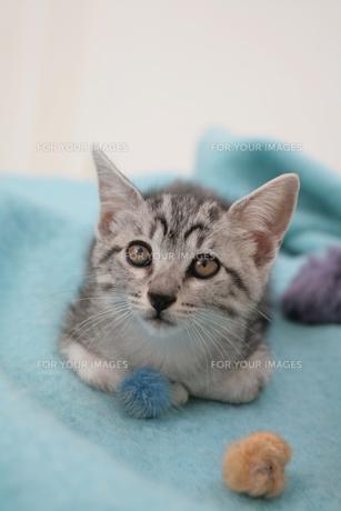 水色のブランケットの上に座る子猫の素材 [FYI01123193]