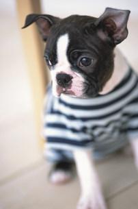 ボーダーのシャツを着た犬(ボストンテリア)の素材 [FYI01123230]