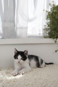 ラグマットの上で寛ぐ子猫の素材 [FYI01123237]