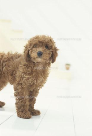 一匹の茶色い犬(トイプードル)の素材 [FYI01123263]
