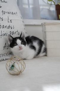 座る子猫とオモチャの素材 [FYI01123327]