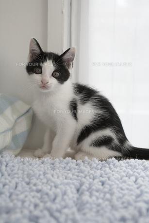 ラグマットの上に座る子猫の素材 [FYI01123352]