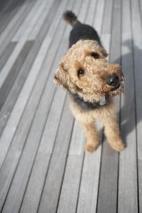 ウッドデッキに立っている犬(エアデールテリア)の素材 [FYI01123516]