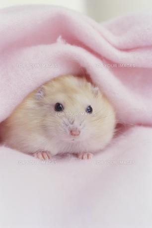 ピンクの毛布とハムスターの素材 [FYI01123927]