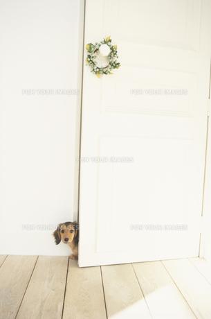 ドアから顔を出すミニチュアダックスフンドの素材 [FYI01125563]