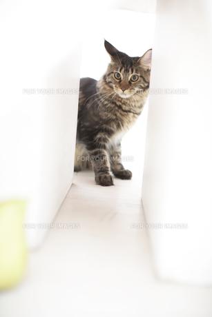 ネコ(メインクーン)の素材 [FYI01126609]
