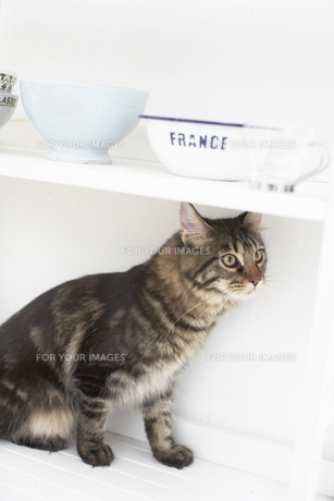食器を乗せた台の下に座るネコ(メインクーン)の素材 [FYI01126613]