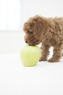 トイプードルとリンゴの素材 [FYI01126795]