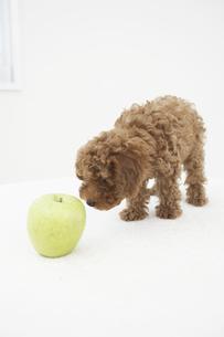 トイプードルとリンゴの素材 [FYI01126812]