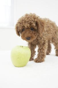 トイプードルとリンゴの素材 [FYI01126888]