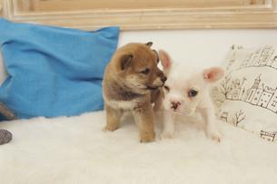2匹の犬(柴犬 フレンチブルドッグ)とクッションの素材 [FYI01127365]