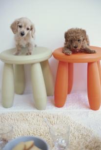 イスに座る2匹の犬(トイプードル ミニチュアダックスフンド)の素材 [FYI01127368]