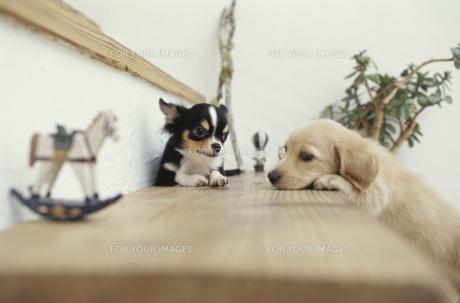 階段の上の2匹の犬(チワワ ミニチュアダックスフンド)と小物の素材 [FYI01127421]