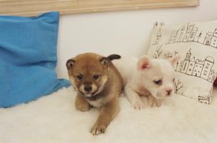 2匹の犬(柴犬 フレンチブルドッグ)とクッションの素材 [FYI01127433]