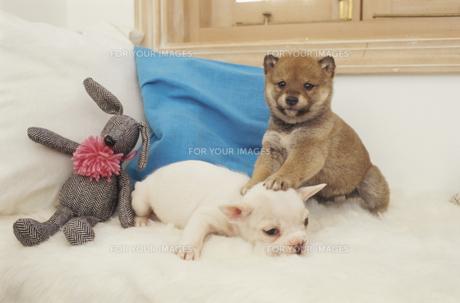2匹の犬(柴犬 フレンチブルドッグ)とクッションの素材 [FYI01127440]