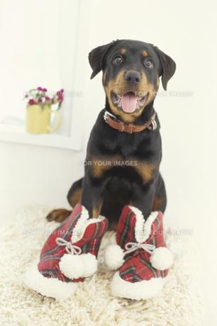 前足に靴を履く犬(ロットワイラー)の素材 [FYI01127450]