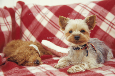 2匹の犬(トイプードル ヨークシャテリア)の素材 [FYI01127483]