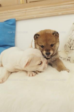 2匹の犬(柴犬 フレンチブルドッグ)とクッションの素材 [FYI01127485]
