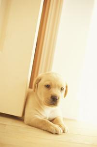 ドアから体を出す犬(ラブラドールレトリバー)の素材 [FYI01128049]