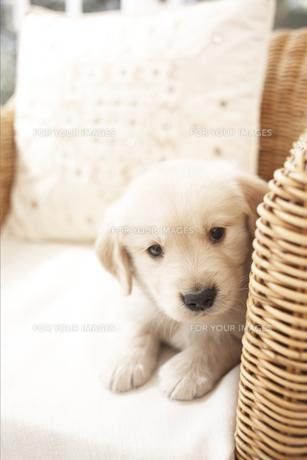 イスに座る犬(ゴールデンレトリバー)の素材 [FYI01128422]