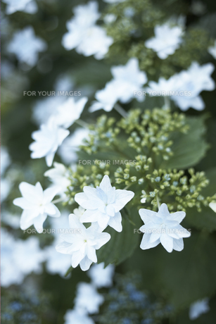 白い花の素材 [FYI01128445]