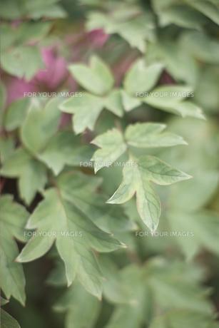 植物の葉の素材 [FYI01128572]