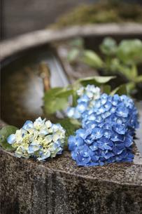 紫陽花の花の素材 [FYI01128606]