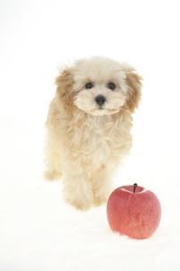 トイプードルとリンゴの素材 [FYI01129001]