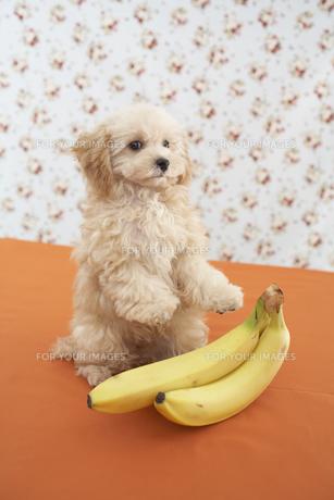 トイプードルとバナナの素材 [FYI01129006]