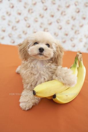 トイプードルとバナナの素材 [FYI01129056]