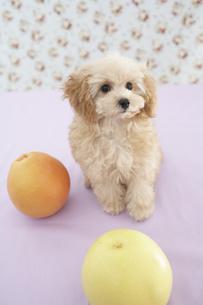 トイプードルとオレンジ,グレープフルーツの素材 [FYI01129070]