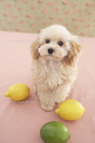 トイプードルとレモンの素材 [FYI01129114]