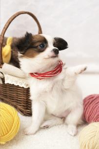 毛糸とパピヨンの素材 [FYI01129138]