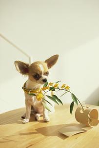 テーブルの上のチワワと花の素材 [FYI01129347]