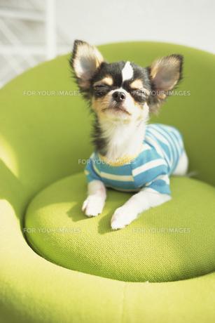 緑色のイスの上の青い服を着たチワワの素材 [FYI01129400]