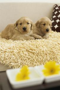 2匹のゴールデンレトリバーと2つの黄色い花の素材 [FYI01129403]