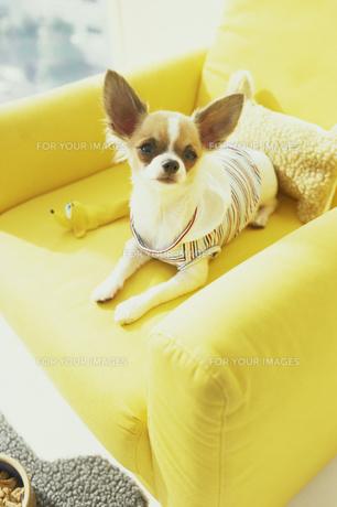黄色いソファの上の服を着たチワワの素材 [FYI01129417]