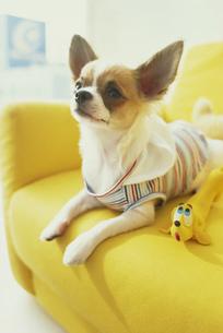 黄色いソファの上の服を着たチワワの素材 [FYI01129422]
