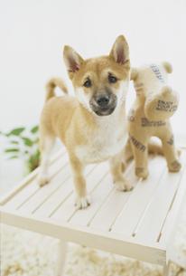 台の上の柴犬と犬の人形の素材 [FYI01129466]