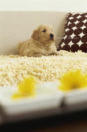 ゴールデンレトリバーと2つの黄色い花の素材 [FYI01129498]