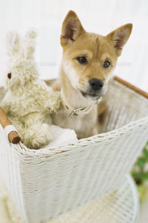 カゴの中の柴犬と人形の素材 [FYI01129556]