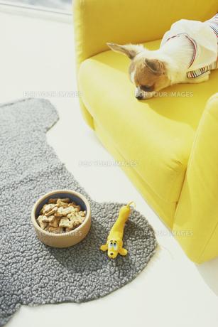 黄色いソファの上から餌を見るチワワの素材 [FYI01129580]
