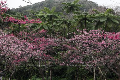2月 八重岳-寒緋桜(カンヒザクラ)咲く沖縄の素材 [FYI01130067]