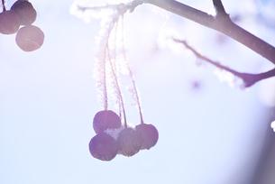 エゾノコリンゴと樹氷の素材 [FYI01130944]