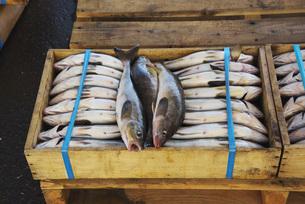 常呂漁港のホッケの荷揚げの素材 [FYI01131517]