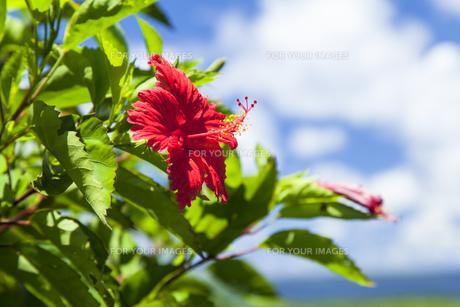 ハイビスカスと夏の空の素材 [FYI01131875]